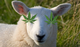 Stoner sheep in £4k cannabis binge