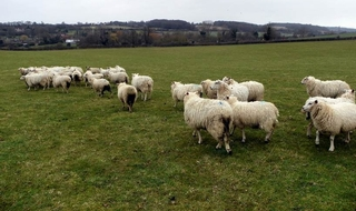 Police hunt sheep who got high and went barmy