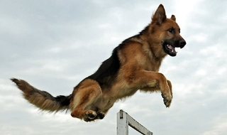 Hundreds of police dog deaths: 'More action needed'