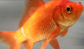 Distressed goldfish: Officer administers thirst aid
