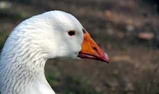 Wild goose chase for GMP officers