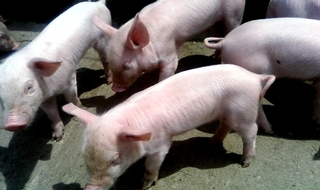 Police sceptical about pig theft reported by Nicky Bacon