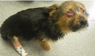 The RSPCA's image of the dog that was subjected to a sickening attack by youths who have been banned from owning animals for five years