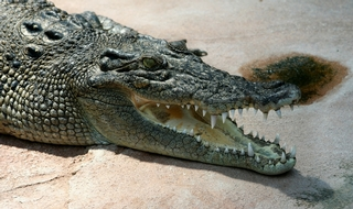 Police apprehend toy crocodile