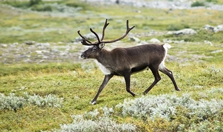Plan to deploy 'police reindeer' near North Pole
