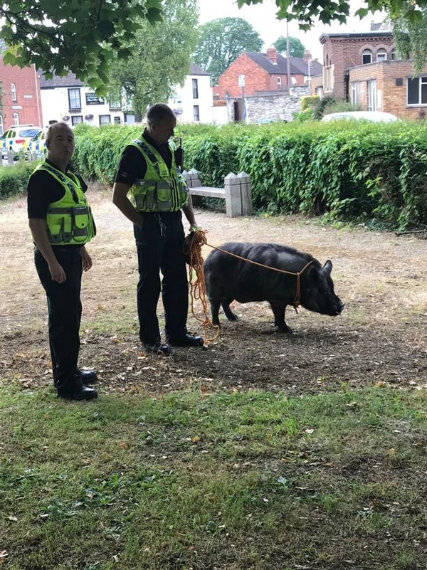 The hog didn't look too pleased after being caught (David Curran, Gloucestershire Council)