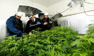 Cannabis farm traps: Officers at risk