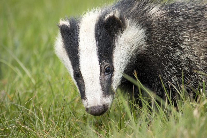 Badger culling cost forces more than £4m