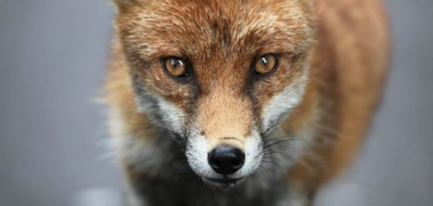 Fox Robs Woman At Nose-point