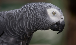Parrot helps police catch burglar