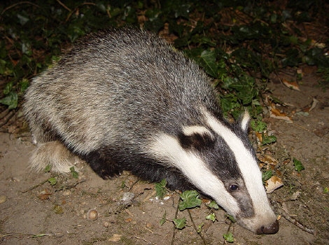 Crimes against badgers have increased but are often not investigated properly, the conservationists say