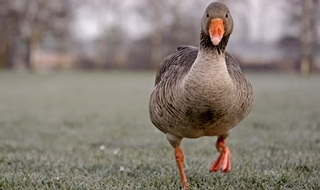 Woman 'called 999 over lonely goose'