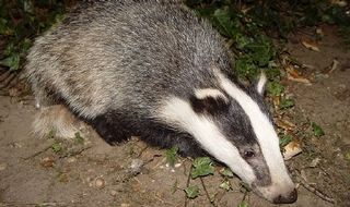 Police on trail of illegal badger culler after breakthrough in forensic findings